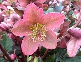 Helleborus  × ericsmithii Pirouette (PBR)