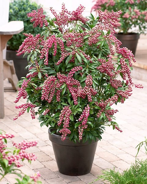 Buy Lily Of The Valley Shrub Pieris Japonica Passion Pbr