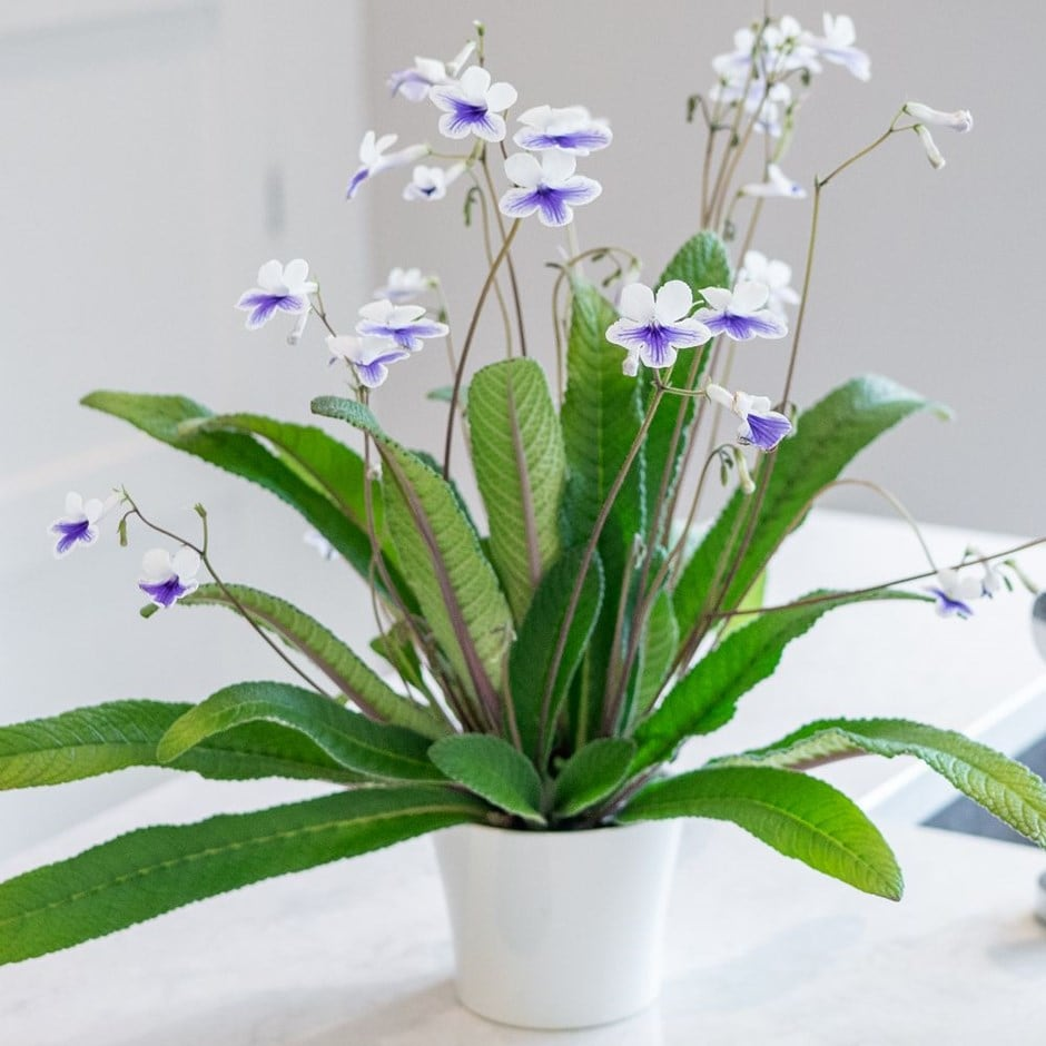 Buy Streptocarpus In A Ceramic Gift Pot Streptocarpus