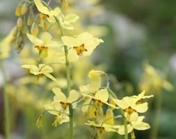 Epimedium × perralchicum Frohnleiten