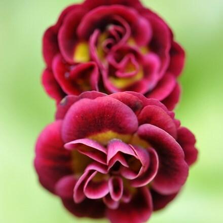 Primula auricula hort. Crimson Glow