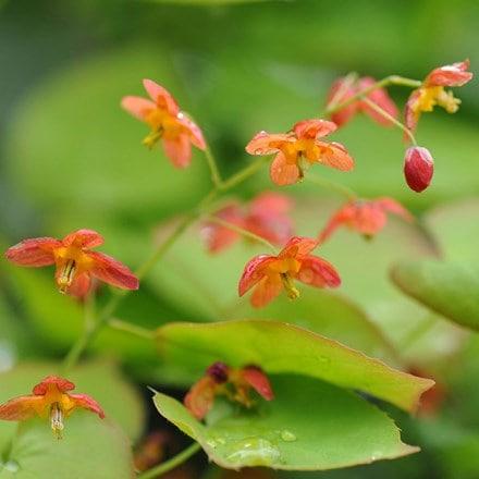 Epimedium × warleyense