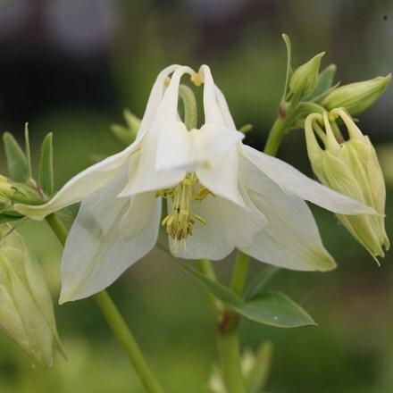 Aquilegia vulgaris Nivea