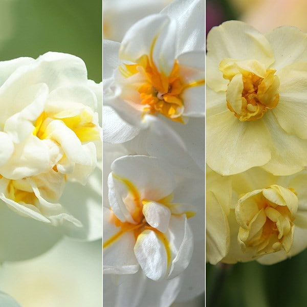 Award winning fragrant multi-headed daffodils