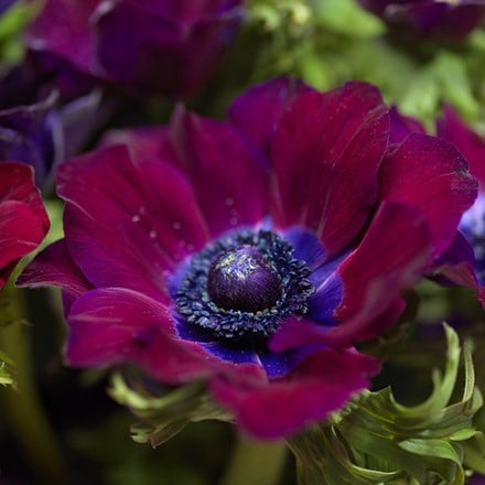 Anemone coronaria (De Caen Group) Bordeaux