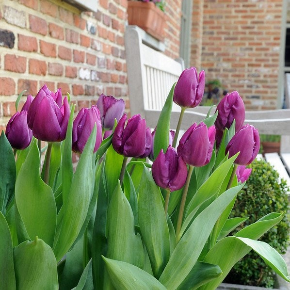single early tulip bulbs