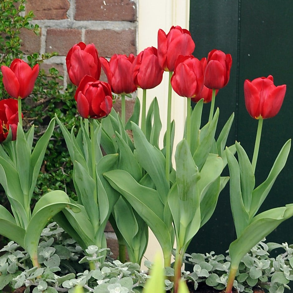 greigii tulip bulbs syn ( tulip Princess Charmante )