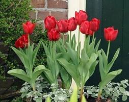 greigii tulip bulbs syn ( tulip Princess Charmante )