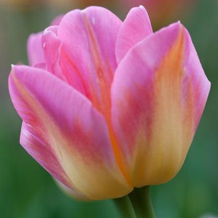 Tulipa Tom Pouce
