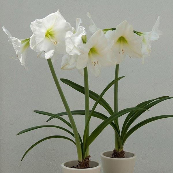 Hippeastrum 'Christmas Gift'. amaryllis bulb