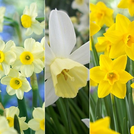 Award winning perfumed daffodil collection