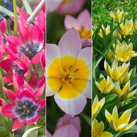 Award-winning vibrant species tulip collection