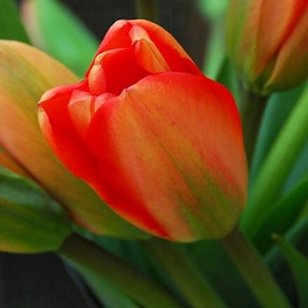 Tulipa Apeldorn