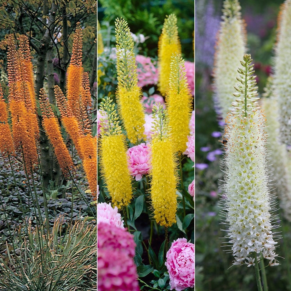 Eremurus: landing and care. Flower of great beauty 72
