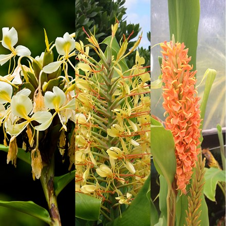 Hedychium collection