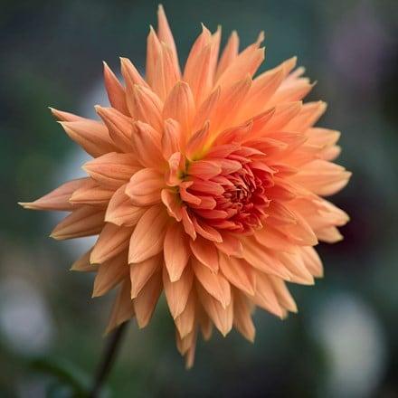 Dahlia Mel's Orange Marmalade