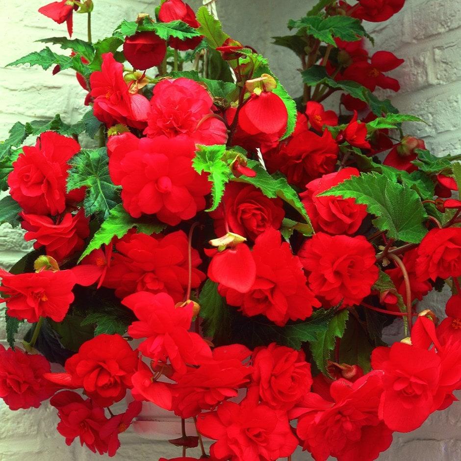 Buy Begonia Tuber Begonia Red Glory 3 99 Delivery By Crocus
