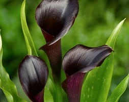 calla lily bulb