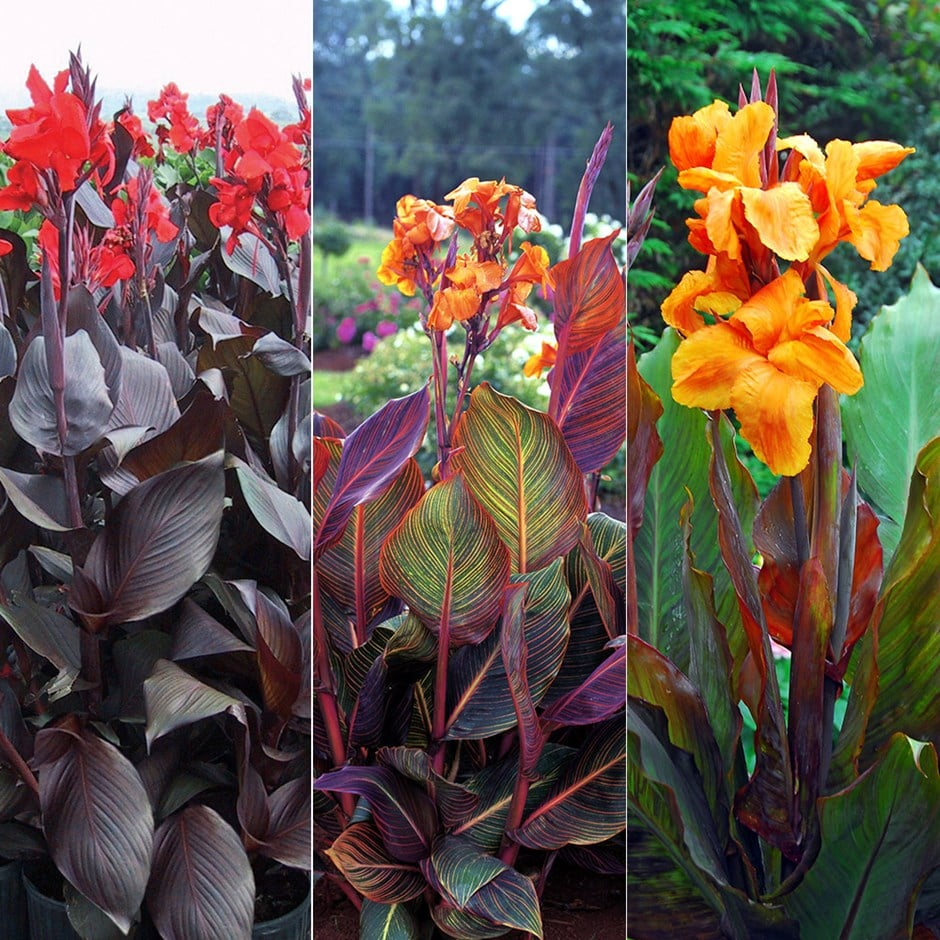 canna collection
