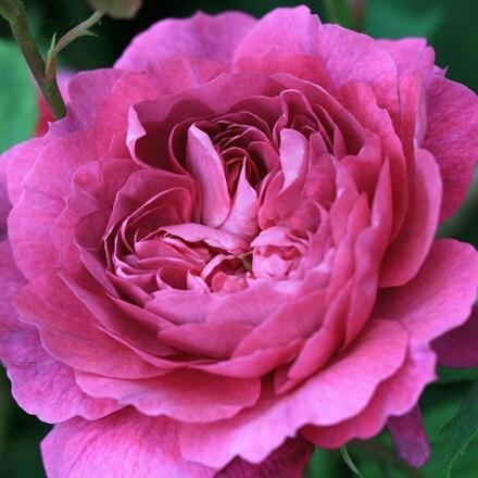 Rosa Reine Victoria