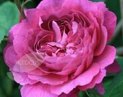 rose La Reine Victoria (bourbon)