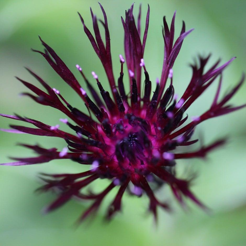Buy Knapweed Centaurea Jordy 163 5 99 Delivery By Crocus