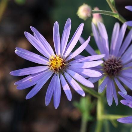 Eurybia × herveyi