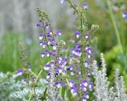 Salvia Madeline (PBR)