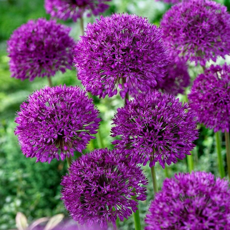 Buy Dutch Garlic Bulbs Allium Hollandicum Purple Sensation