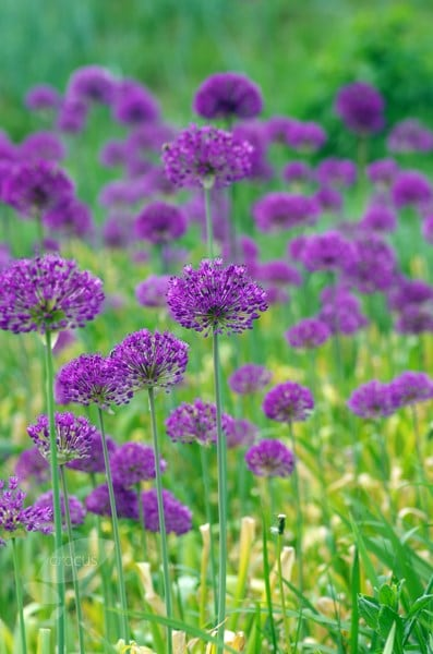 buy dutch garlic bulbs allium hollandicum purple sensation. Black Bedroom Furniture Sets. Home Design Ideas