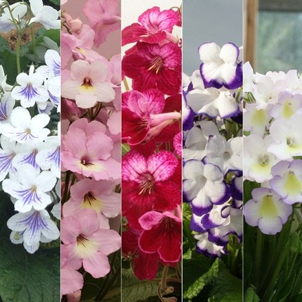 Streptocarpus collection