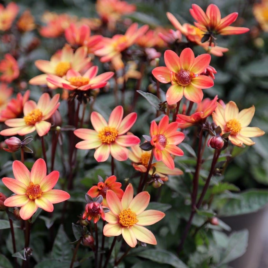 buy single flowered dahlia tuber dahlia star wars vdtg14