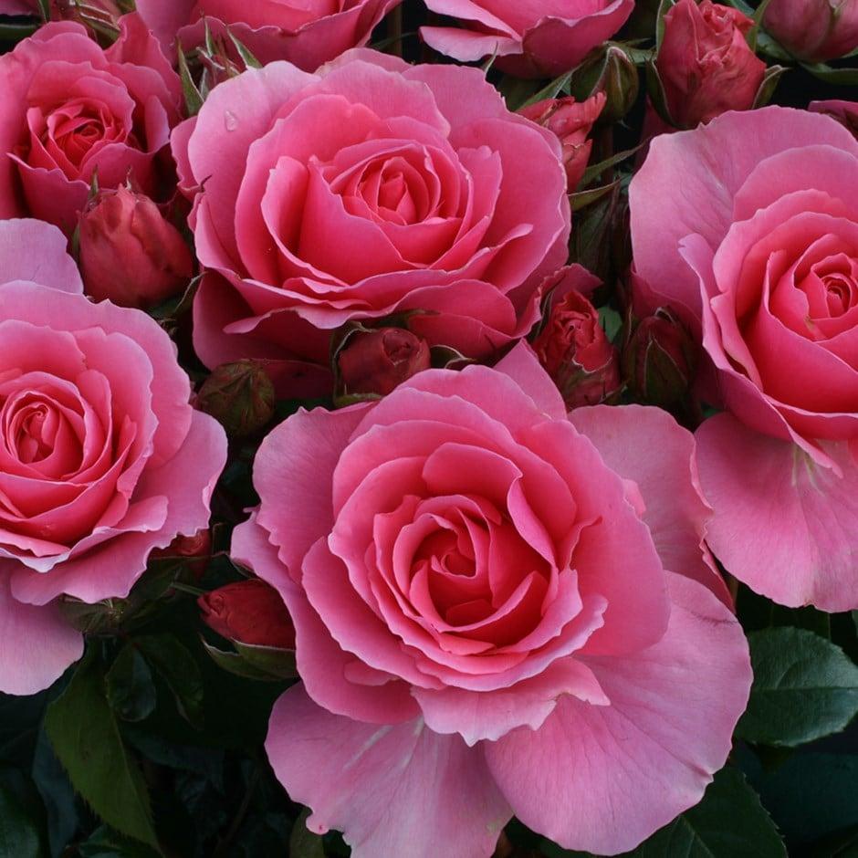 Rose of the Year 2013 rose You're Beautiful (floribunda)