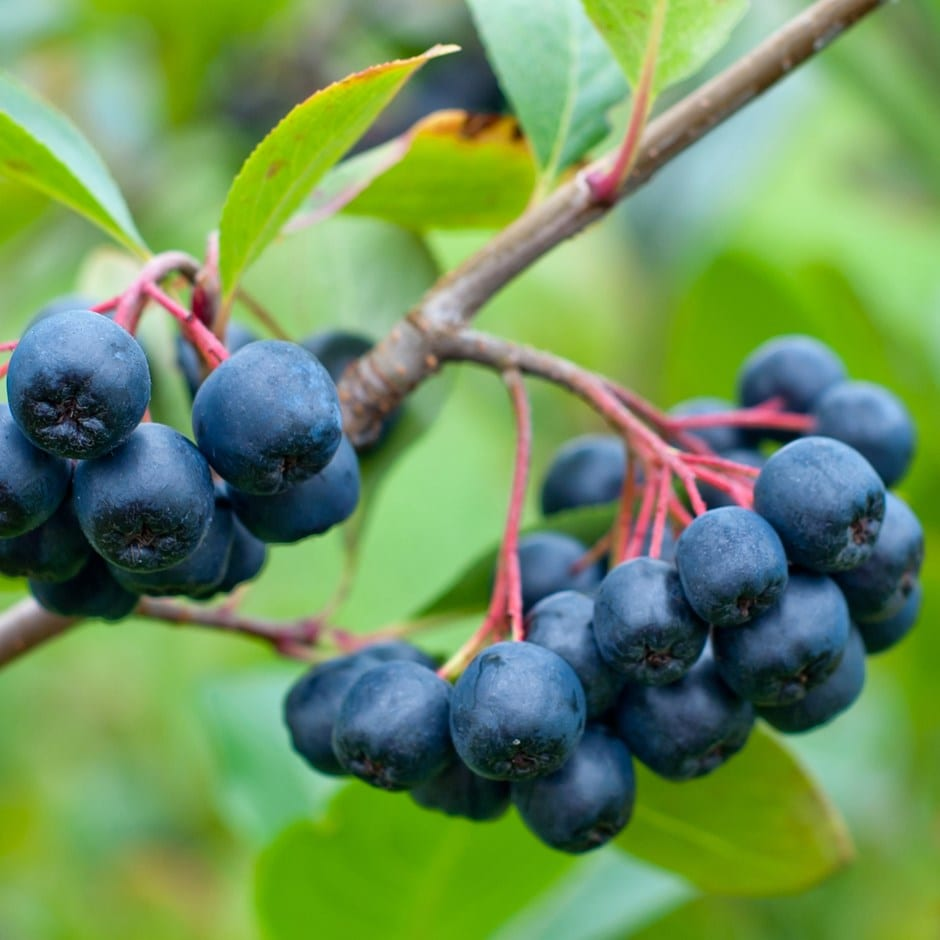 chokeberry 'Viking'