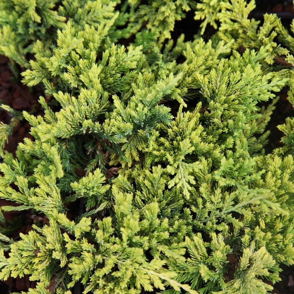 Buy Juniper Golden Carpet Juniperus Horizontalis Golden