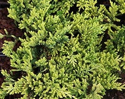 juniper Golden Carpet