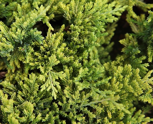 Buy Juniper Golden Carpet Juniperus Horizontalis Golden