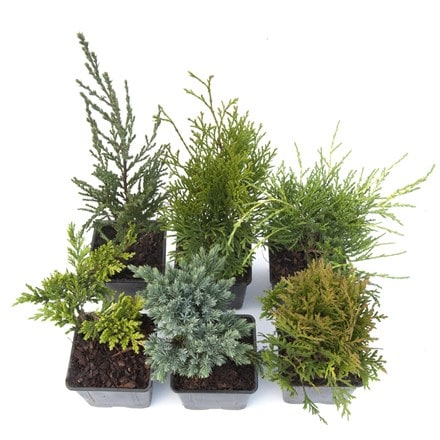 Award winning conifer collection