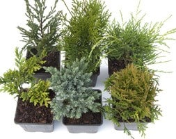 RHS AGM award-winning conifer collection