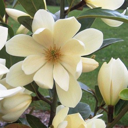Magnolia Fairy Cream ('MicJur02') (PBR)