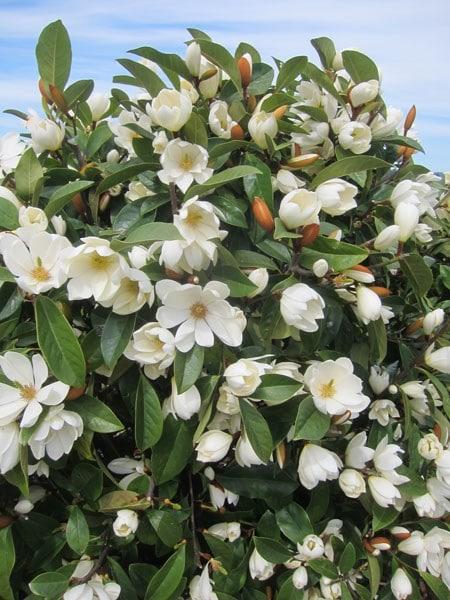 Buy Fairy Magnolia Magnolia Fairy Cream Micjur02 Pbr
