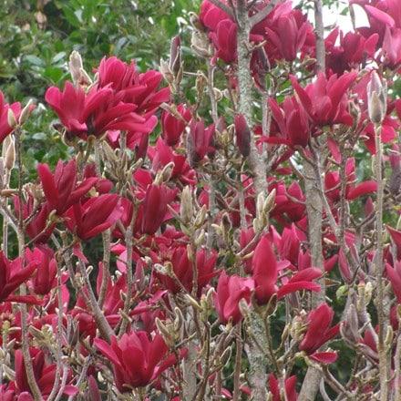 Magnolia Burgundy Star ('Jurmag4') (PBR)