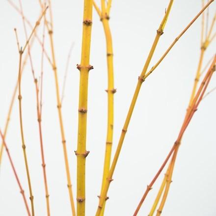 Acer palmatum Bi Ho