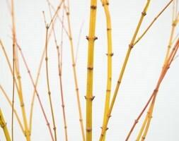 Japanese maple (syn Acer Bi Hoo )