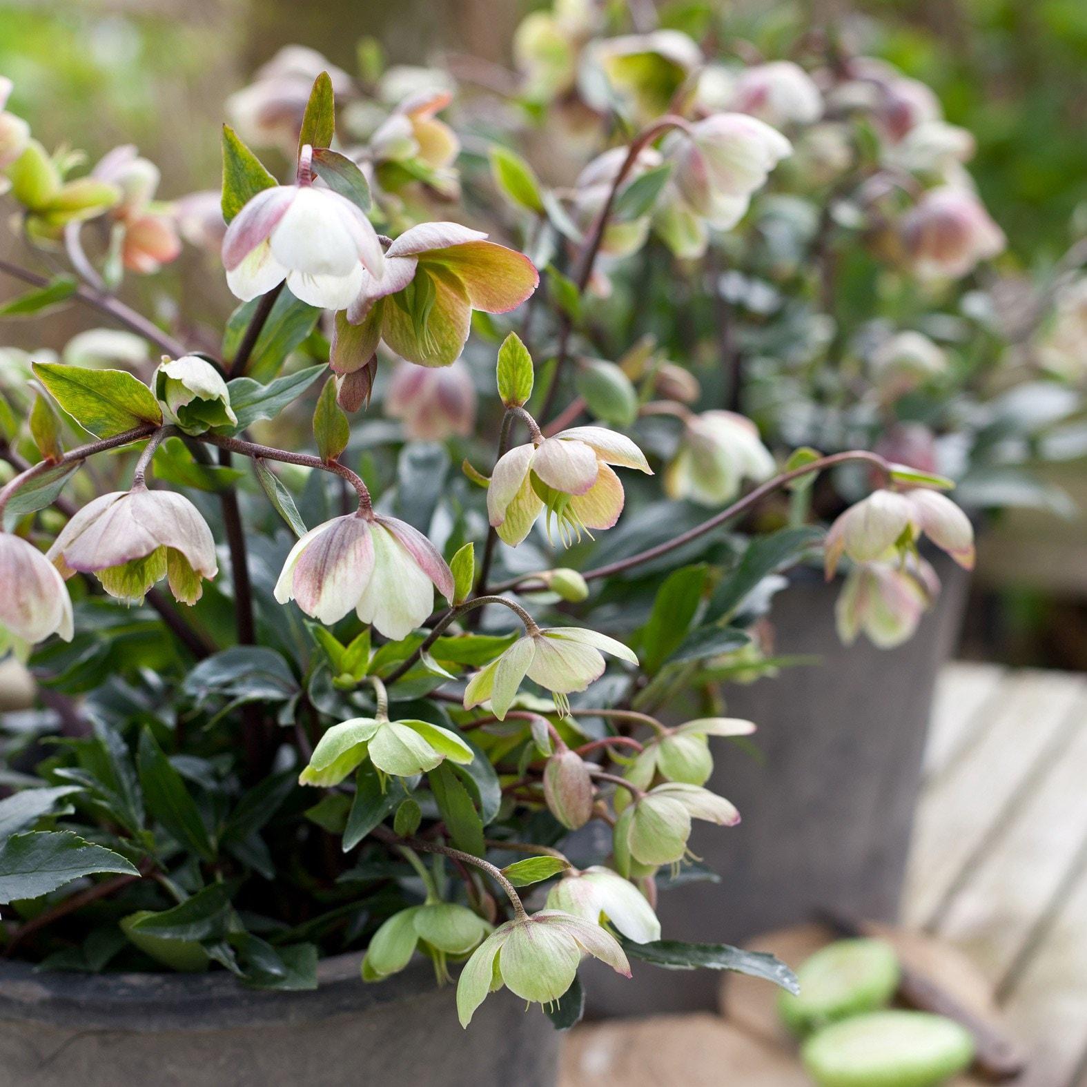 buy hellebore helleborus  u00d7 sahinii  u0026 39 winterbells  pbr  u0026 39   delivery by waitrose garden in
