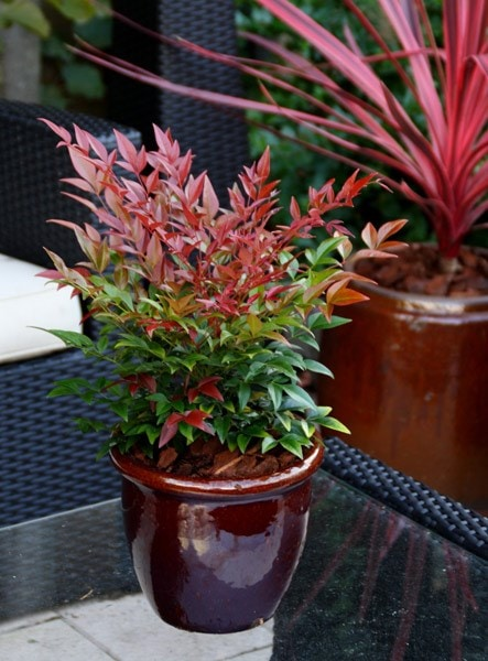 Buy Heavenly Bamboo Nandina Domestica Obsessed Seika