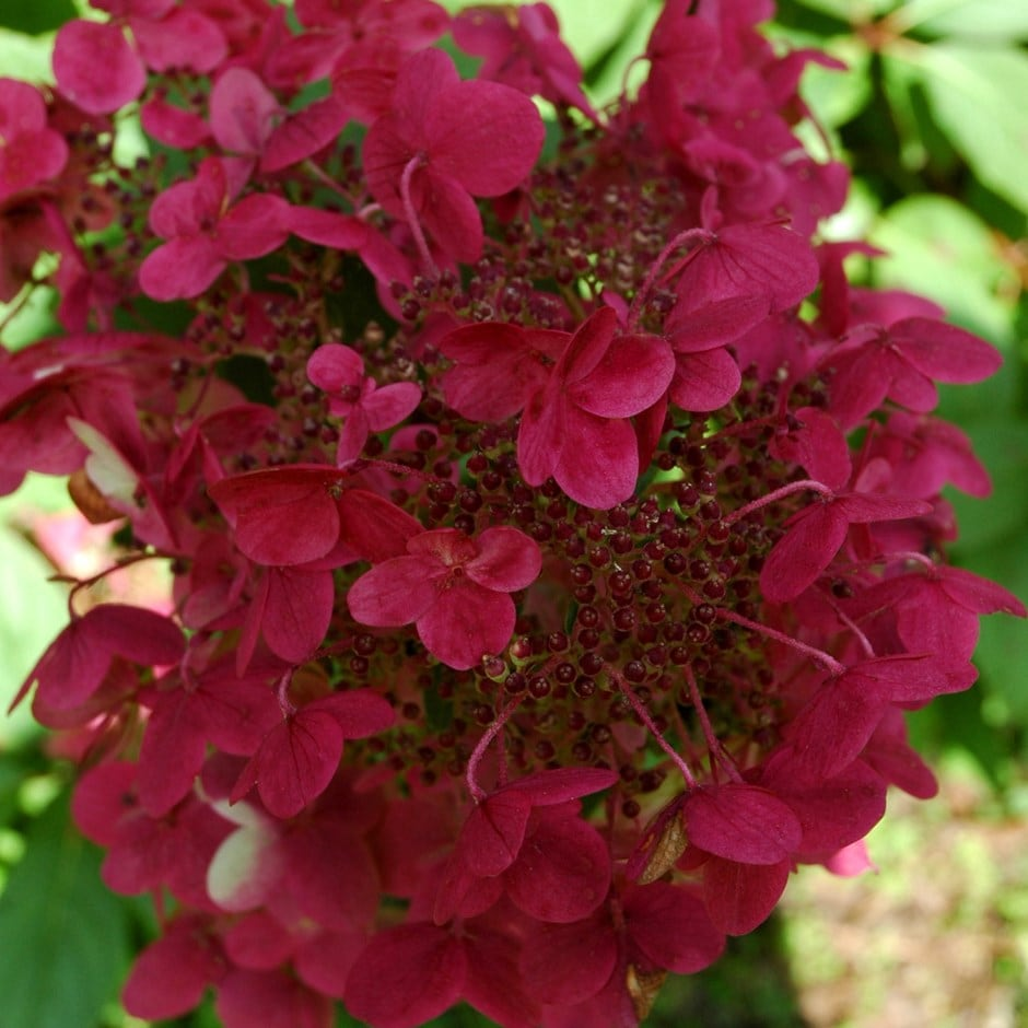 buy hydrangea hydrangea paniculata wim 39 s red pbr delivery by crocus. Black Bedroom Furniture Sets. Home Design Ideas
