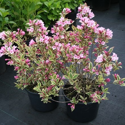 Weigela florida Magical Rainbow ('Kolmagira') (PBR)