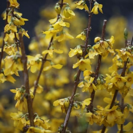 Forsythia × intermedia Goldrausch