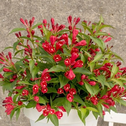 Weigela All Summer Red ('Slingco1') (PBR)